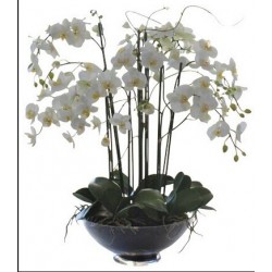 Orchidea bianca 6 o più rami