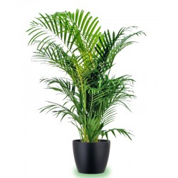 Kentia medium-large pot