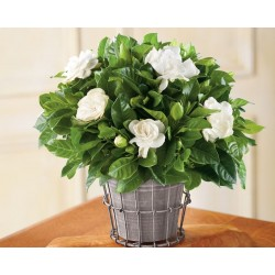 Gardenia in a basket
