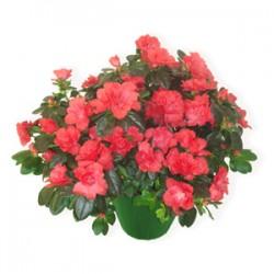 Planta de azalea tonos de color rosa fucsia