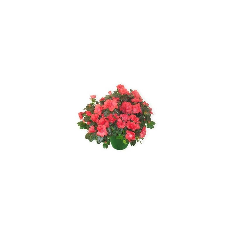Plant azalea tones of fuchsia pink