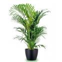 Kentia great in a vase