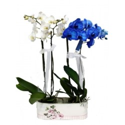 The composition with the orchid phalaenopsis white e blu