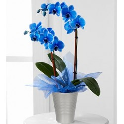 Blue phalaenopsis orchid in pot