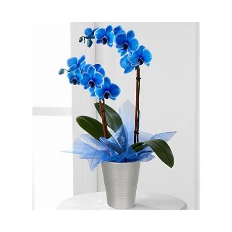 Orchidea phalaenopsis blu in vaso