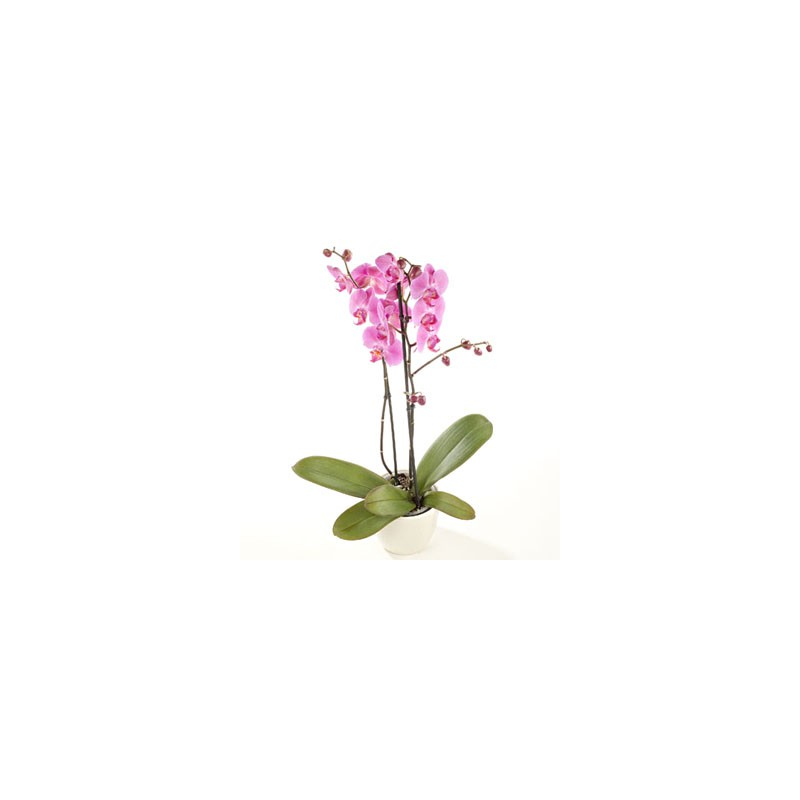 Orchid in vase double branch pink