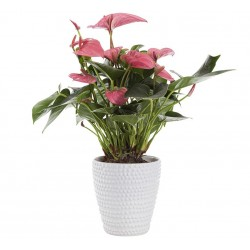 Plant anthurium red in basket