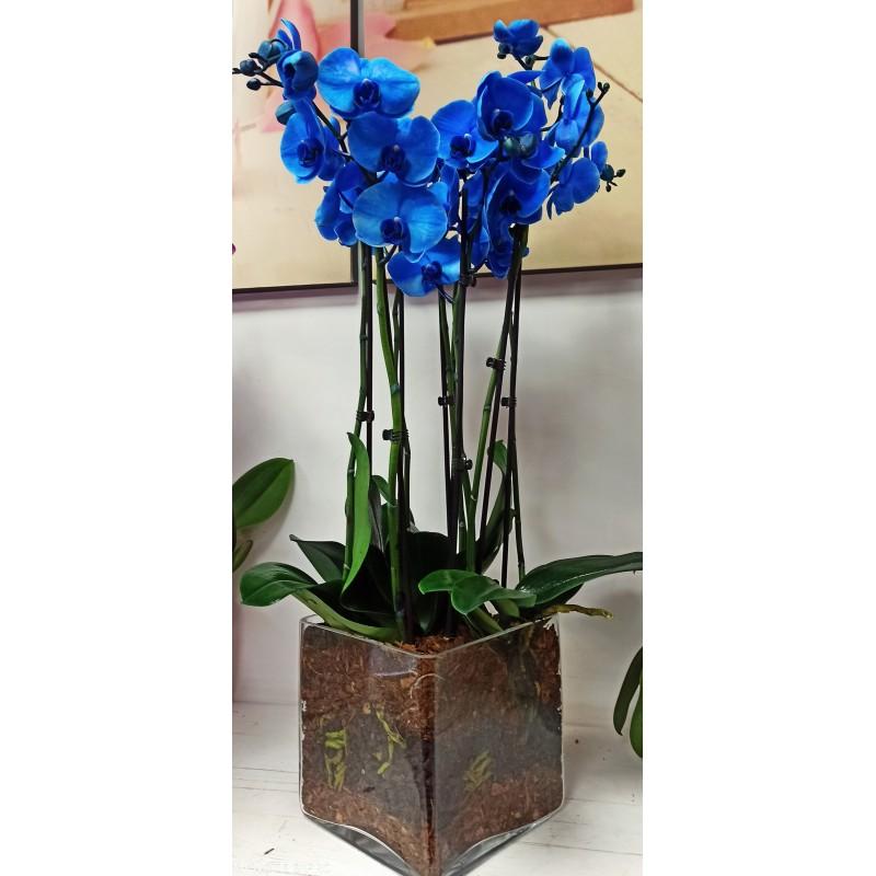 phalaenopsis blu