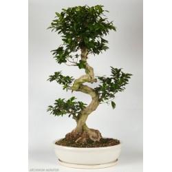 The Bonsai ficus ginseng.H 60-75