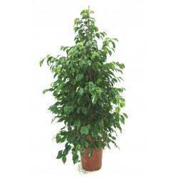 The plant of ficus benjamin H + 150 cm
