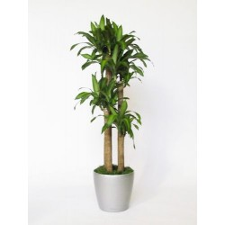 Plant Dracena 3 - or more trunks H cm 140-170.