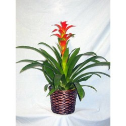 The plant of bromelia red in basket