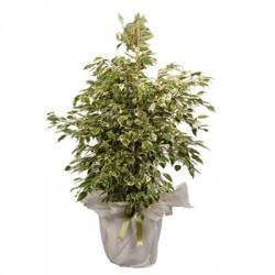 Plant Ficus variegated