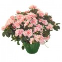 Plant the azalea with the tones of pink
