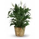 Plant Spathiphyllum in a basket