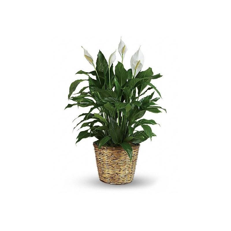 Plant anthurium red in basket