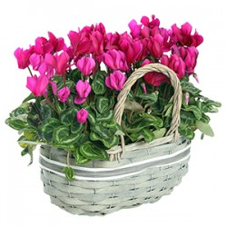 Basket cilcamini pink and fuchsia