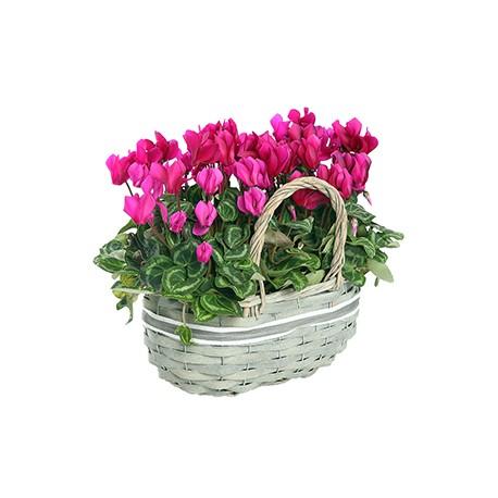 Basket cilcamini pink and fuchsia