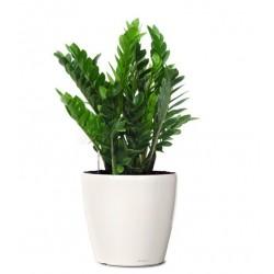 Plant zamioculcas in a white vase