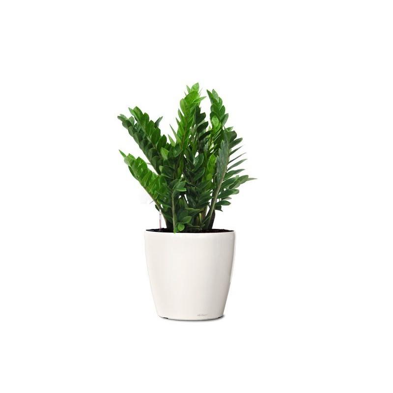 Plant hydrangea pink
