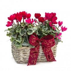 Basket of cyclamen