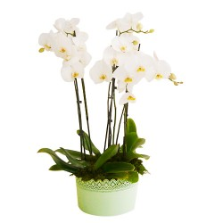 Phalaenopsis white six or more branches