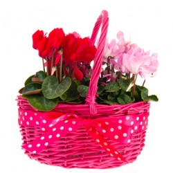 Basket cilcamini red, pink and fuchsia