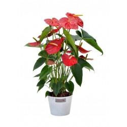 Anturium rosso in vaso.