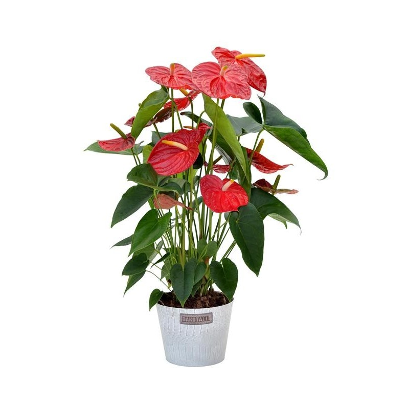 Anthurium red in a pot.