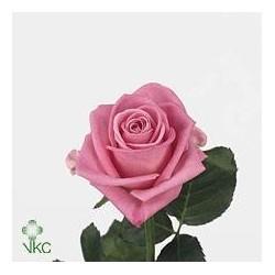 1 Pink rosa