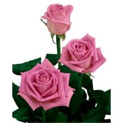 3 Rose rosa