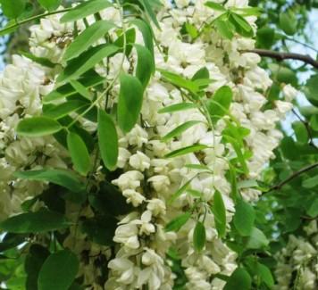 Fiori di Acacia: tanto belli quanto buoni!