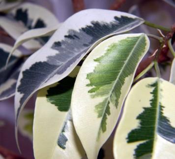 Ficus Benjamin, per dare un tocco esotico alla tua casa