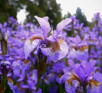 Iris: leggiadre fatine dai mille colori