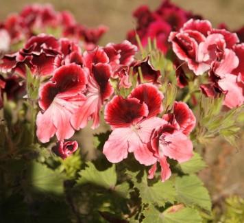 Gerani: dai fiori alle foglie è tutto uno spettacolo